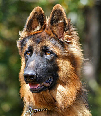 Long Coated German Shepherd Dog Poster by Sandy Keeton