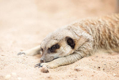 Long Day In Meerkat Village Poster