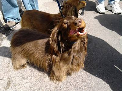 Long Haired Dachshund Making A Face Poster