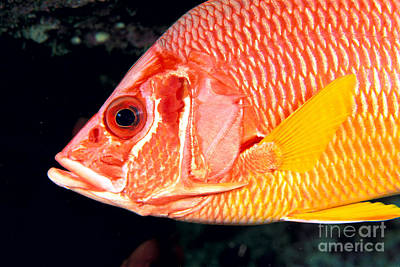 Long-jawed Squirrelfish Poster by Dave Fleetham - Printscapes