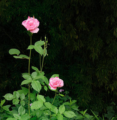 Long Stemmed Rose Poster by Jean Noren