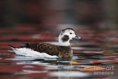 Long-tailed Duck Poster by Jules Cox/FLPA