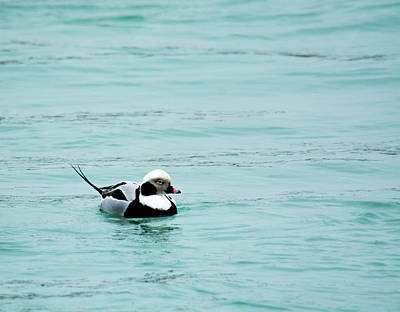 Long Tailed Duck Poster by Randy J Heath