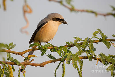 Long-tailed Shrike, India Poster