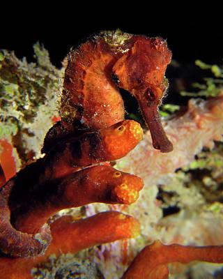 Longsnout Seahorse, St. Croix, U.s. Virgin Islands 2 Poster