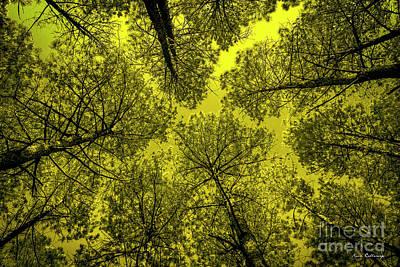 Look Up 2 Tall Pine Tree Art Poster by Reid Callaway