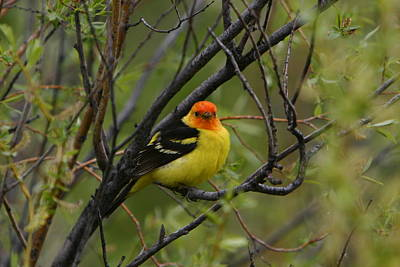 Looking At You - Western Tanager Poster