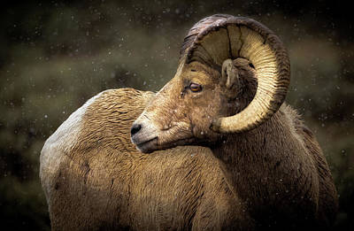 Looking Back - Bighorn Sheep Poster by TL Mair