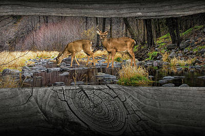 Looking Between The Fence Rails At Two White-tail Bucks Poster by Randall Nyhof