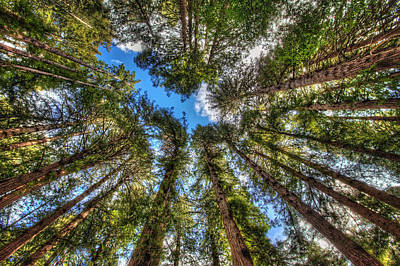 Looking Up At Muir Woods Forest Redwood Trees Poster by Jennifer Rondinelli Reilly - Fine Art Photography