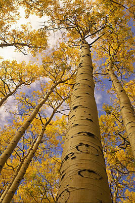 Looking Up At Towering Aspen Trees Poster by Ralph Lee Hopkins