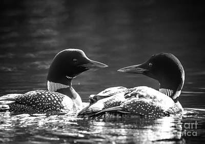 Loons In Black And White Poster by Cheryl Baxter