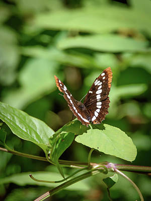 Lorquin's Admiral Butterfly Poster