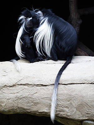 Lost In Cuddling - Black And White Colobus Monkeys  Poster by Penny Lisowski