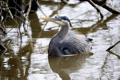 Poster featuring the photograph Lost Lagoon Great Blue Heron 2 by Terry Elniski
