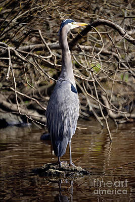 Poster featuring the photograph Lost Lagoon Great Blue Heron 3 by Terry Elniski