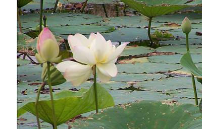 Lotus And Bud Poster
