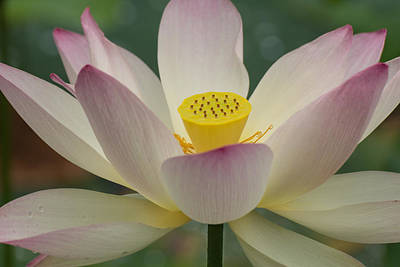 Poster featuring the photograph Lotus Beauty by Julie Andel