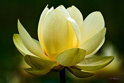 Lotus Blossom Poster by Christopher Holmes