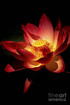 Lotus Blossom Poster by Paul W Faust -  Impressions of Light