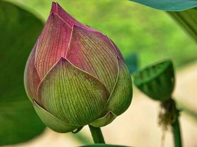 Lotus Dreaming 3 Poster