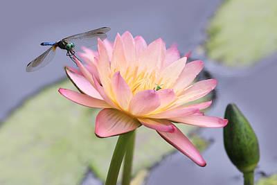 Lotus Flower 2 Poster by Lori Deiter