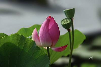 Lotus Flower In Pure Magenta Poster