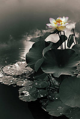 Lotus In The Mist Poster