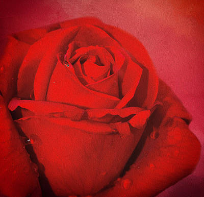 Poster featuring the photograph Love Is A Red Rose With Raindrops by Diane Schuster