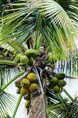 Lovely Bunch Of Coconuts Poster by Phyllis Taylor