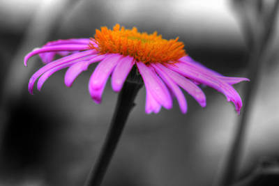 Poster featuring the photograph Lovely Purple And Orange Coneflower Echinacea by Shelley Neff
