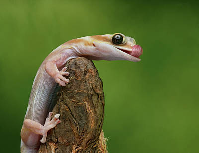 Poster featuring the photograph Lovely Water - Velvet Gecko by Nikolyn McDonald
