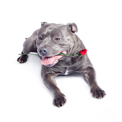 Loving Dog Carrying Red Rose In Mouth Poster