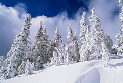 Low-angle View Of Snow-covered Pine Poster by Panoramic Images