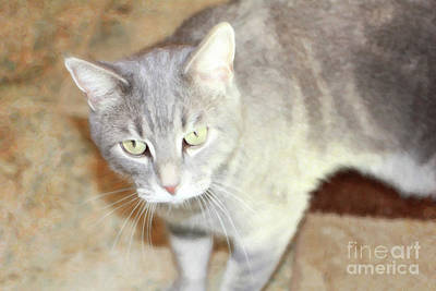 Lucius The Marble Gray Tabby Poster