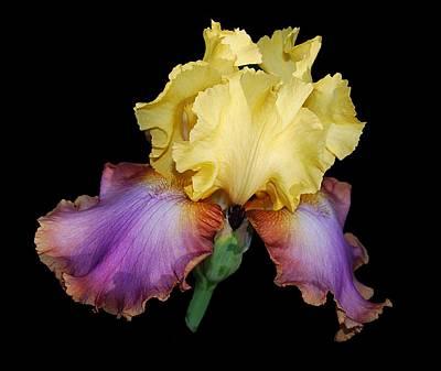 Lucky's Iris Poster by Carol Deltoro
