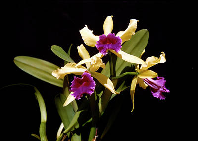 Luminosa Aurea Orchid Vintage Poster by Marilyn Hunt