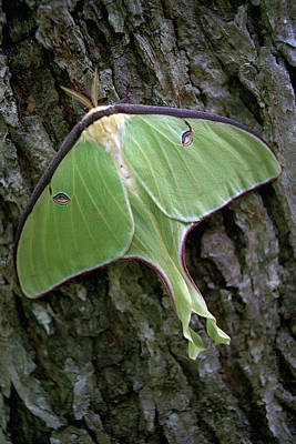 Poster featuring the photograph Luna Moth by Marie Hicks