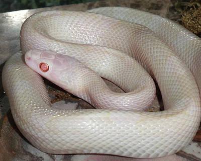 Luna White Snake Poster