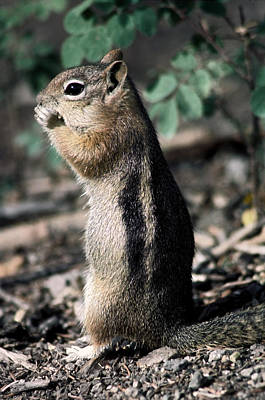 Lunchtime For Ground Squirrel Poster by Sally Weigand