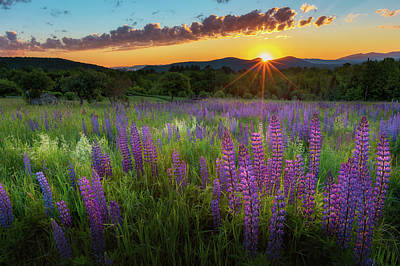 Poster featuring the photograph Lupine Lumination by Bill Wakeley
