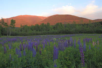 Lupine Meadow And Northern Presidentials White Mountains Poster by John Burk
