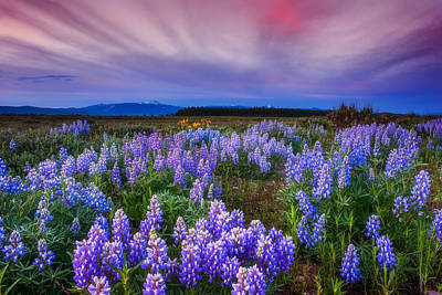 Lupine Morning Poster by Darren  White