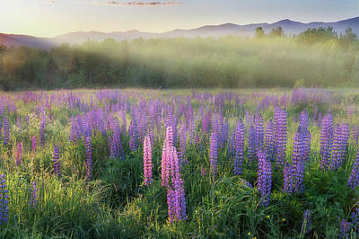 Lupine Morning Fog Poster by Bill Wakeley