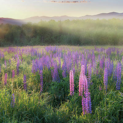 Lupine Morning Fog Square Poster by Bill Wakeley