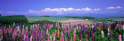 Lupines Hokkaido Japan Poster by Panoramic Images