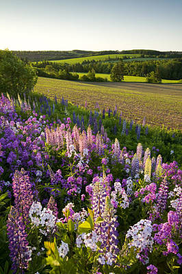 Lupins And Phlox Flowers, Clinton Poster by John Sylvester