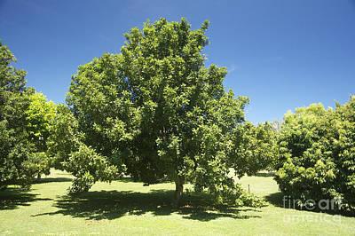 Macadamia Nut Tree Poster