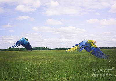 Macaws Flying Together Poster