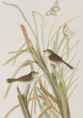 Macgillivray's Finch  Poster
